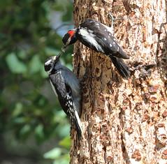 Feed Me... Feed Me! -- Downy Woodpeckers (Picoides pubescens);  Santa Fe National Forest, NM, Thompson Ridge [Lou Feltz] (deserttoad) Tags: wildlife nature newmexico mountain desert bird wildbirdwoodpecker yopung behavior tree