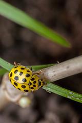 Yellow Spot with Black Spots - _TNY_0696 (Calle Söderberg) Tags: macro canon canon5dmkii canonef100mmf28usmmacro canoneos5dmarkii raynox dcr250 flash meike mk300 glassdiffusor insect beetle skalbagge nyckelpiga 22prickignyckelpiga 22spotladybird ladybird ladybug yellow coccinellidae 22 vegetarian polyphaga blackspots