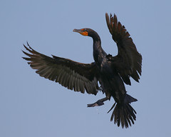 Cormorant Landing (dbadair) Tags: bird birdinflight flight wildlife nature ft desoto 7dm2 canon