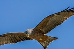 2017.06.20.4024 Black Kite (Brunswick Forge) Tags: bird birds tanzania africa wildlife winter nature outdoor outdoors inmotion d500 air sky