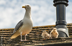 Seagull parent and two chicks (philbarnes4) Tags: seagull chicks coast broadstairs thanet kent england wildlife birds young roof philbarnes nikon expressions cute chick feathers unitedkingdom observing sky babies rearingchicks nature clouds summer d80 dslr