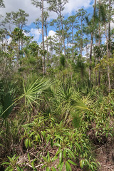Appealing selection and arrangement of plantlife. (Tim Kiser) Tags: 2017 20170411 april april2017 dadecounty dadecountyflorida everglades evergladesnationalpark evergladesnationalparklandscape evergladespinelands evergladeslandscape evergladesplants florida floridaeverglades floridalandscape img5552 miamidade miamidadecounty miamidadecountyflorida miamidadecountylandscape pinelandstrail pinus pinuselliottii serenoa serenoarepens forestlandscape landscape nationalpark nationalparklandscape palmetto pineforest pineforestlandscape pinelandscape pinelands sawpalmetto slashpine slashpineforest slashpinelandscape southflorida southernflorida tropicalforest tropicalforestlandscape tropicallandscape tropicalplants
