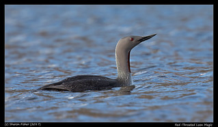 Red-Throated Loon Magic