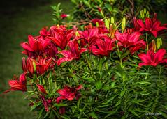 DSC_6907 (dixiedog) Tags: flowersplants mississippi summer