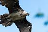Les Aigles du Léman-54 (Diving Pete) Tags: beardedvulture birds birdsofprey frenchalps gypaetusbarbatus intobeyondphotography location vultures les aigles du léman