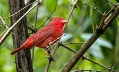 IMG_3871  Summer tanager (ashahmtl) Tags: summertanager bird tanager songbird pirangarubra rioquijosecolodge sardinadechaco napoprovince ecuador