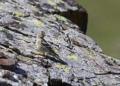 Venturon montagnard (JFB31) Tags: venturonmontagnard cardueliscitrinella citrilfinch passériformes fringillidés