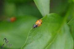 Macro-LadyBugs_216 (ZieBee Media) Tags: ladybug garden