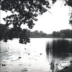 Landschaftspark, Machern (reinirazzi) Tags: reinirazzi weltax tessar fomapan100 rodinal150 machern park 6x6 mittelformat gegenlicht