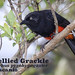 Red-bellied Grackle, Hypopyrrhus pyrohypogaster