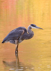 Juvenile Great Blue Heron (John's Love of Nature) Tags: johnkelley greatblueheron ardeaherodias