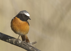 Common Redstart (J J McHale) Tags: commonredstart phoenicurusphoenicurus redstart bird nature wildlife