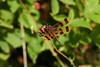 Halloween Pennant 3 (mjcarsonphoto) Tags: sandyridge halloweenpennant dragonfly