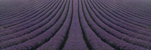 Lordington Lavender Fields