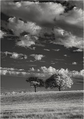 Two Trees..... ( 2 ). (Phil Dodd CPAGB BPE1*) Tags: monochromelandscape infraredphotography canon40d convertedinfraredcamera mono westmidlands trees 720nminfrared infraredlandscapephotography monolandscape monochrome sky clouds canon24105f4l canon 40d infraredlandscape infrared blackandwhite