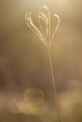 Dreams of summer (Jutta Sund) Tags: gold sun bokeh dof grass stalk sunflare dreamy