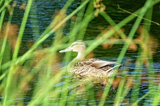 Animals In The Wild Animal Themes Water Lake Bird Swimming One Animal Nature Animal Wildlife Day Water Bird No People Outdoors Close-up Duck at Parc Ahuntsic