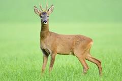 Roe deer (George Findlay) Tags: deer roe buck ayrshire nikon sigma