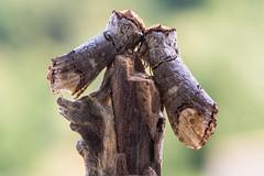 Pair of buff-tip moths (Phalera bucephala) on stick (Ian Redding) Tags: british european lepidoptera notodontidae phalerabucephala uk branch bufftip camouflage camouflaged cryptic fauna female insects male moth moths nature pair stick wildlife wood