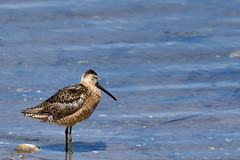 Short-billed Dowitcher (Chatham Sound) Tags: fauna bird shorebird nikond5 tamron150600mmlens northamerica northpacific canada britishcolumbia vancouverisland victoria esquimaltlagoon