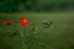 ... (kderricotte) Tags: canon100mm28macro sony sonya7ii flower field outdoor plant