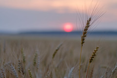 Golden field of ripe wheat in the evening (androsoff) Tags: agriculture bread bright cereal color corn crop dark dusk ear environment evening farm field food gold grain harvesting heat illuminated image landscape light nature night nobody nonurban objects orange outdoors