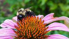 Bee one with the cone (tquist24) Tags: goshen indiana samsung samsunggalaxys6 animal bee bokeh color cone coneflower flower insect macro summer