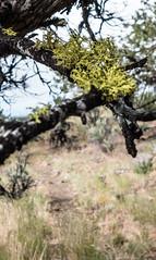 American wolf lichen (CAJC: in the PNW) Tags: lightroom sonya6000 oregon easternoregon lichen wolflichen americanwolflichen browneyelichen letheriavulpina fruticoselichen