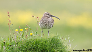 whimbrel with wildflowers in Iceland