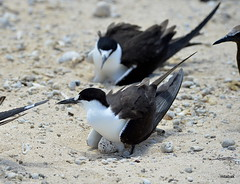 Sooty Terns on eggs (miketabak) Tags:
