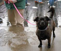 Dog Portrait - in Syracuse NY (TheMachineStops) Tags: 1988 outdoor dog leash syracuse newyorkstate ny 35mmscan film analog pentax upstatenewyork wet
