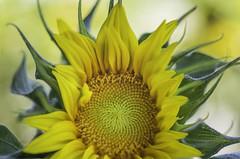 What does math have to do with the sunflower? (pixelmama) Tags: california davis pixelmama sunflowerfields sunflowers yolocounty fibonaccisequence
