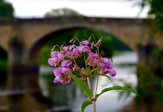 Under the arch. (rustyruth1959) Tags: nikon nikond3200 tamron16300mm uk lancashire ribchester riverribble ribblevalley weed bridge arch span river flowers weeds himalayanbalsam dof road stone water outdoor leaf reflections buds seeds stem stalk bloom petals b6245 roadbridge ribble