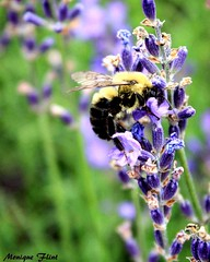 Bumble bee on Lavender (moniquef123) Tags: bee bumblebee insect animal lavender flower floral purple green field garden nature summer