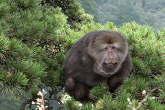 Life at the top (tmeallen) Tags: portrait shorttailedmacaque dominantmale monkey treetop mountaintop huangshannationalpark huangshanpine granite peak pinushwangshanensis travel tourism anhuiprovince china macaca macacatibetana