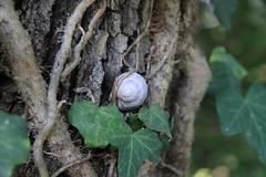 la lumaca, le foglie, i rami - Pianello di Ostra (walterino1962 / sempre nomadi) Tags: lumaca foglie corteccia radici luci ombre riflessi pianellodiostra ancona