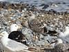 Caspian Gull (Larus cachinnans) (TG23-Birding in a Box) Tags: caspiangull caspian laruscachinnans cromer norfolk