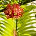 Spider Hibiscus (Hibiscus schizopetalus) - Kew Gardens