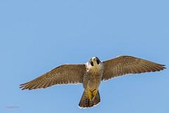 Faucon pèlerin et sa proie (sfrancois73) Tags: oiseau faune envol fauconpélerin