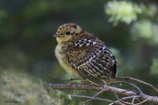 Spruce grouse chick | Tétras du Canada