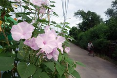 morning glory-like flowers along a mostly deserted road (the foreign photographer - ฝรั่งถ่) Tags: dscjun52015 morning glory like flowers country road man bicycle bangkhen bangkok thailand sony rx100