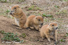 The three little amigos... (Anne Marie Fraser) Tags: prairie dog babies prairiedogbabies colorado nature wildlife three animal cute rockymountainarsenalnationalwildliferefuge cuteness