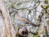 20170417 De Boville Slough 055A2506 (ianburgess1) Tags: aixsponsa birds britishcolumbia debovilleslough familyanatidae metrovancouver woodduck