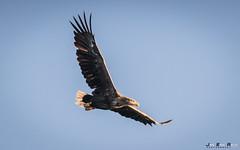 Havørn-0255 (jarud) Tags: 2017 eagle fugl havørn naturopplevelser norge norway smøla whitetailed ørn