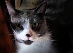 Fabulous Feline (LupaImages) Tags: cat feline lucy whiskers face fur animal pet