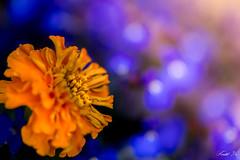orange and purple 橘和紫 (T.ye) Tags: flowers marigold lobelia light bokeh contrast blurry