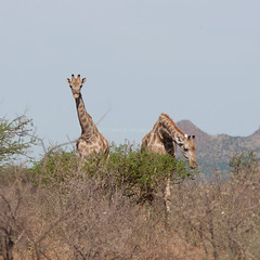 Giraffe in Namibia. (annick vanderschelden) Tags: giraffe animal neck mountains mammal wildlife namibia africa southernafrica dessert nature republicofnamibia atlanticocean dry tourism arid namibdesert climate semidessert ecotourism hardapregion hardap rehoboth oanobriver dam town water tropicofcapricorn elevationplateau hotwatersprings nationalroadb1 apartheid basters damara kalahari namibdessert rehobothers colonial germanempire reserve three bush feeding browsing