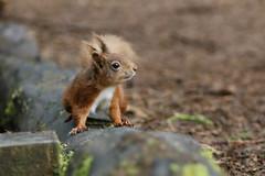 Red Squirrel (Sciurus vulgaris) (Fly~catcher) Tags: sciurus vulgaris red squirrel yorkshire dales