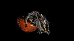 "Butt to butt... - ""Explored"" (chandra.nitin) Tags: animal deerpark feeding insect ladybeetle ladybird macro nature spider newdelhi delhi india"