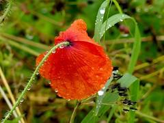 A lot of rain yesterday (BrigitteE1) Tags: alotofrainyesterday vielregengestern blume flower regen rain rot red grün green tropfen drops regentropfen raindrops mohn klatschmohn poppy nass wet wetter weather